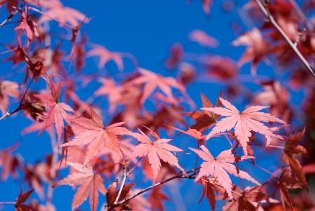 acer palmatum: Turn red color of autumn maple leaves  Acer palmatum  under blue sky