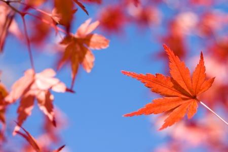 acer palmatum: Vivid red autumn maple leaf  Acer palmatum  in front of blue sky