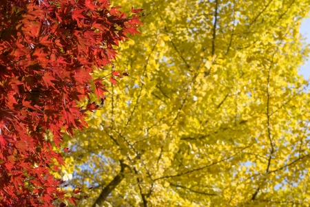 acer palmatum: Autumn color of maple leaves  Acer palmatum  in front of ginkgo leaves