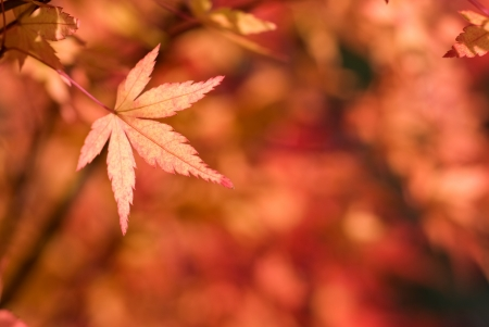 Turn red color of autumn maple leaf  Acer palmatum  in left position with red blur photo