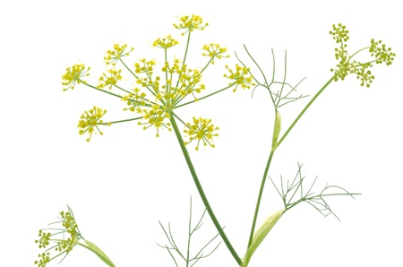 fennel: Fennel flowers with needle like leaves on a white background Stock Photo
