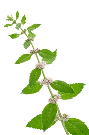 arvensis: Corn mint flowers and leaves on a white background in vertical position