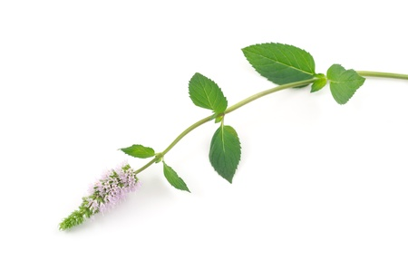 Blooming time for peppermint plant on a white background Stock Photo