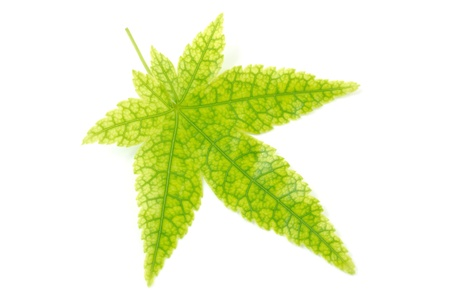 prominent: One maple leaf with prominent veins isolated on white background