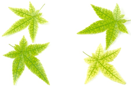 prominent: Arranged four maple leaves with prominent veins on white background