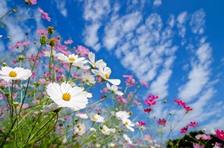 가을 하늘 아래 흰색과 분홍색 코스모스 꽃밭