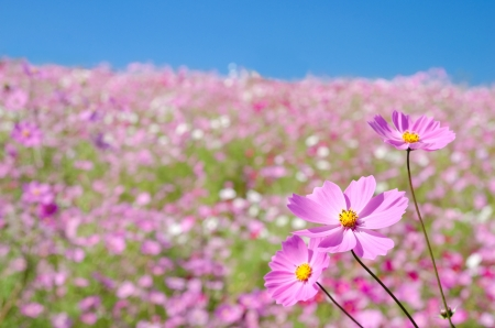 plateau of flowers: Plateau covered with pink cosmos flowers under blue sky