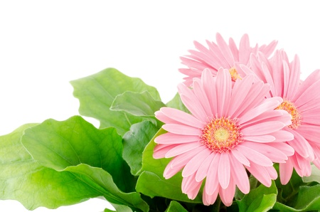 Pink african daisy flowers in front of white photo