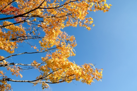 Turn yellow of autumn maple leaves under blue sky Stock Photo - 16791415