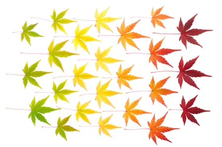 Arranged colorful autumn maple leaves isolated on white background photo