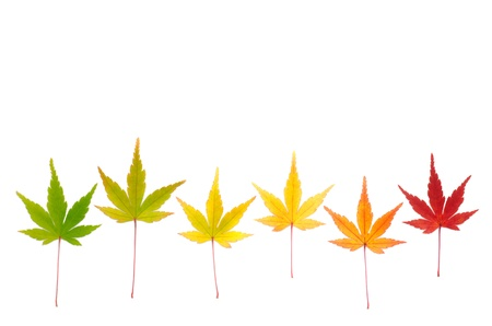 Line of six colorful autumn maple leaves isolated on white background Stock Photo - 16791361