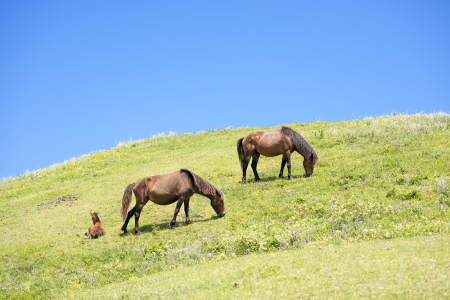Grazing parent horse and sitting foal on the green hill photo