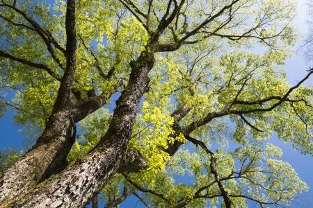 大きなニレの木の枝が広がる春の完全