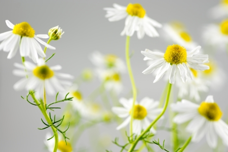 german chamomile: German chamomile flowers in front of gray
