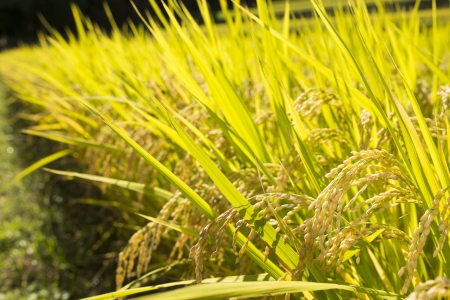 ripening: Harvest season of yellow rice ear in paddy field