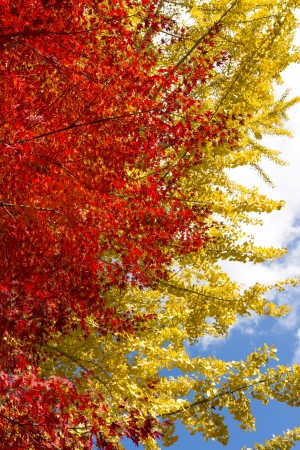 Autumn color of maple leaves in front of ginkgo leaves in vertical position Stock Photo - 25271451