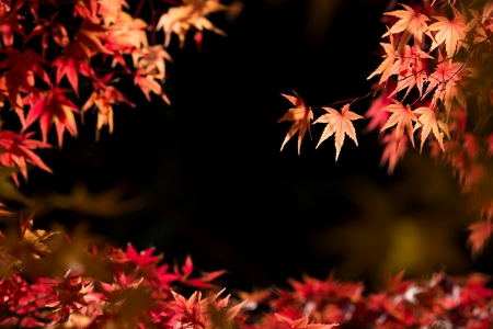 Autumn red maple leaves that has been exposed to sunlight Stock Photo - 25271496