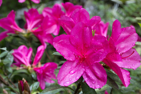 center position: Pink azalea blossom wet with rain in near center position and flower blurs
