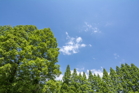 metasequoia: Bright green metasequoia forest under blue sky Stock Photo