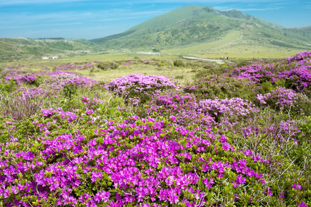 plateau of flowers: Bright pink azalea flowers are blooming around the plateau