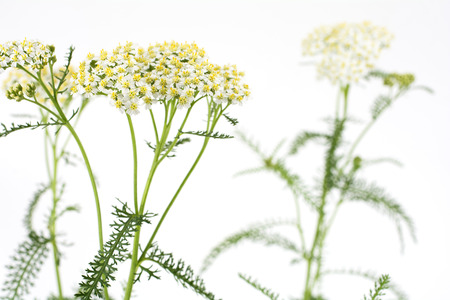 yarrow: White yarrow flowers in front of pale gray background Stock Photo