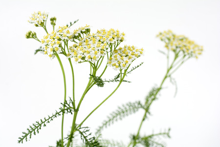 center position: White yarrow flowers in near center position on pale gray background