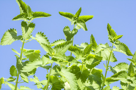 catnip: Catnip plants sway in the wind under blue sky
