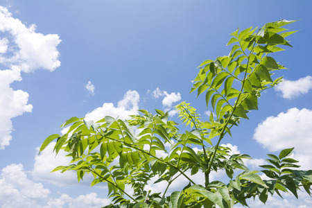 aralia: Japanese angelica tree under sky with clouds in summer