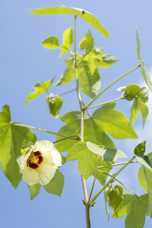 vertical composition: Yellow cotton flower and green leaves under blue sky in vertical composition