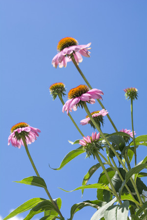 vertical composition: Several echinacea flowers under blue sky in vertical composition