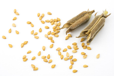 Brown sesame seeds and two pods on white background
