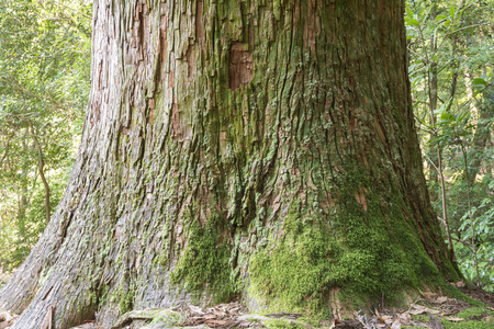 grew: Moss grew raised roots longevity japanese cedar tree trunk Stock Photo