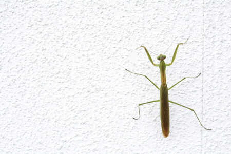 climbed: One green mantis climbed up on the white wall