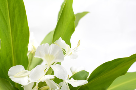 ginger flower plant: White ginger lily flower in front of gray background Stock Photo