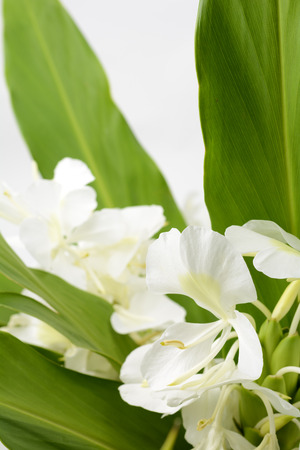coronarium: White ginger lily flower in vertical composition Stock Photo