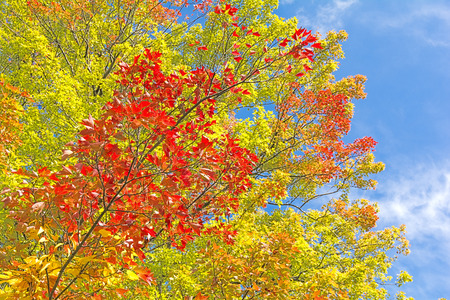 oblique: Red and other colors trident maple leaves that oblique branches