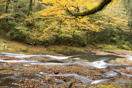primeval: Gentle river flowing in autumn color primeval forest viewed from side