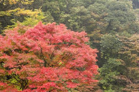 acer palmatum: Autumn tree of Japanese maple Acer palmatum in forest
