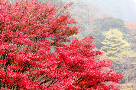 acer palmatum: Autumn tree of Japanese maple Acer palmatum in front of a misty forest Stock Photo