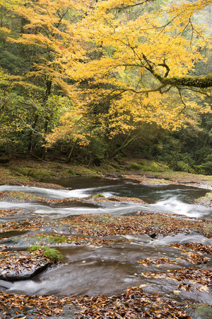 primeval: Gentle river flowing in autumn color primeval forest in vertical composition