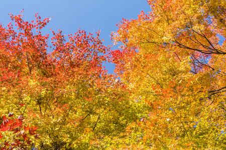 acer palmatum: Autumn Japanese maple Acer palmatum leaves under blue sky