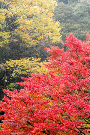 acer palmatum: Autumn tree of Japanese maple Acer palmatum in vertical composition Stock Photo