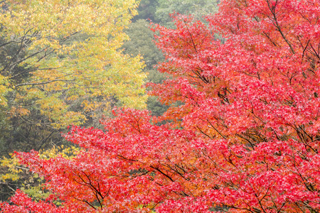 palmatum: Close up autumn tree of Japanese maple Acer palmatum in front of orange color tree
