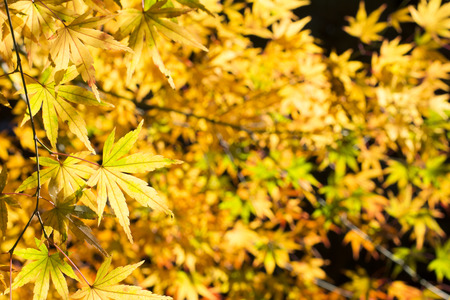 palmatum: Autumn mix of yellow and green maple acer palmatum leaves in front of black background