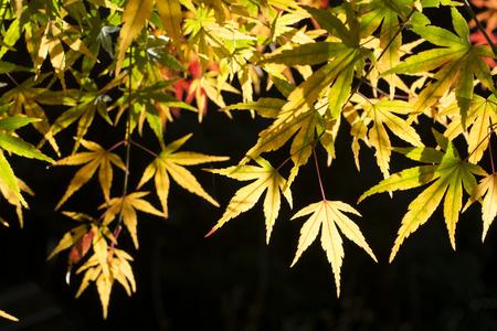 acer palmatum: Colorful autumn maple acer palmatum leaves in front of black background