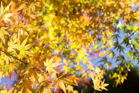 acer palmatum: Autumn yellow maple acer palmatum leaves under colorful leaves Stock Photo