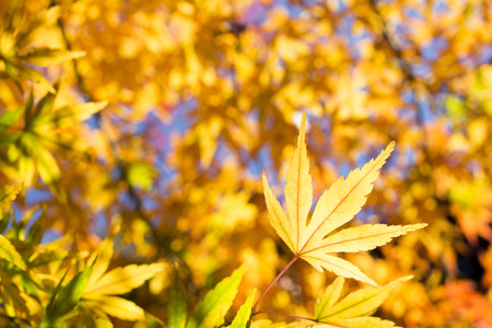 acer palmatum: Close up autumn yellow maple acer palmatum leaf under leaf blurs Stock Photo