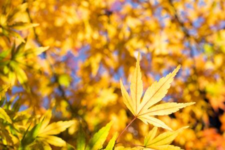 acer palmatum: Close up autumn yellow maple acer palmatum leaf under leaf blurs Stock Photo