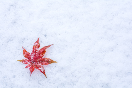 snow ground: Red maple leaf acer palmatum on a snow in early winter