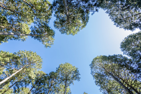 bright sky: Blue sky that look up from surrounded by Hinoki Chamaecyparis obtusa trees
